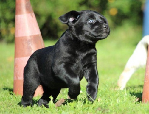Labrador Retriever Welpe Lovely Ebony