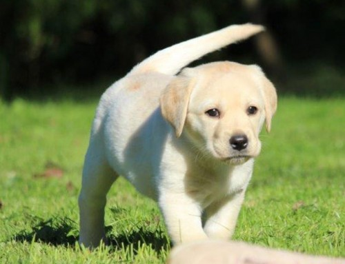 Labrador Retriever Welpe Lucky Mathilda